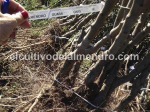 03 Raiz desnuda.Gn+Guara - Cultivo del almendro