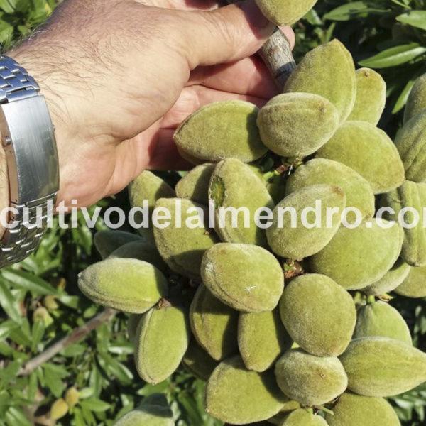 05 Cuajado almendras Guara - Cultivo del almendro