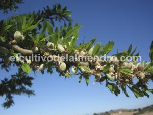 06 Cuajado almendras Soleta - Cultivo del almendro