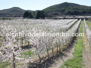 08 Flowering almond orchard - Cultivo del almendro