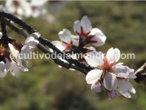 09 Floración - Cultivo del almendro