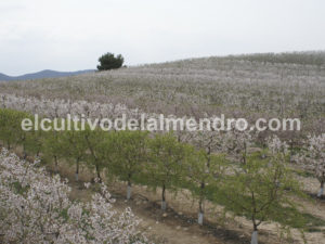 0 Floracion tardia La Porchina - Cultivo del almendro