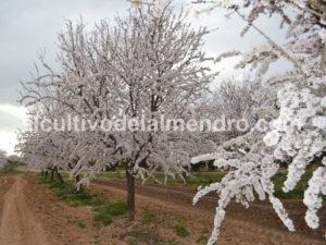 12 Floración variedad almendra Belona - Cultivo del almendro