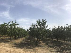 13 Plantacion semi 7 anos - Cultivo del almendro