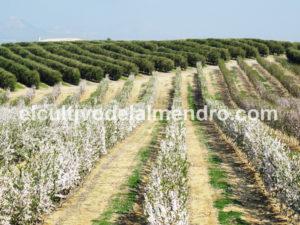 14 Plantacion SHD - Cultivo del almendro