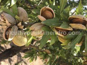 16 Maduracion de la almendra - Cultivo del almendro