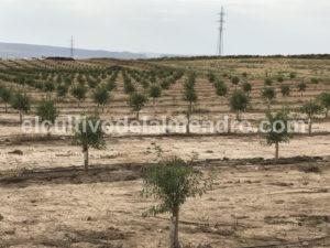 17 Plantacion almendros semi intensivo a tresbolillo - Cultivo del almendro
